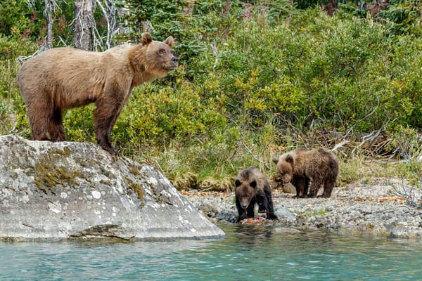 Alaska Brown bear sow stands on rock as she watches over her two cubs along the lake shore at Crescent Lake in Lake Clark National Park, Alaska.  Summer  Photo by Jeff Schultz/  (C) 2019  ALL RIGHTS RESERVED