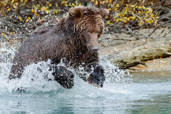 Alaskan Brown (Grizzly) Bear jumps for salmon in Crescent River in Lake Clark National Park.  Fall - Autumn.  Alaska    Photo by Jeff Schultz/  (C) 2019  ALL RIGHTS RESERVED