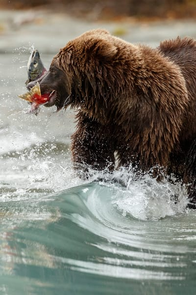 Alaskan Brown (Grizzly) Bear feeds on Sockeye Salmon  on Crescent Lake in Lake Clark National Park.  Fall - Autumn.  Alaska  Photo by Jeff Schultz/  (C) 2019  ALL RIGHTS RESERVED