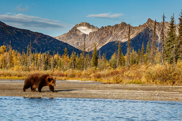Alaskan Brown (Grizzly) Bear walks on the shoreline of Crescent River with the Chigmit Mountains in the background in Lake Clark National Park.  Fall - Autumn.  Alaska  Photo by Jeff Schultz/  (C) 2019  ALL RIGHTS RESERVED