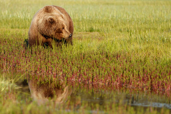 Brown Bear sow feeds in grass with reflection in water in Lake Clark National Park.  Silver Salmon Creek area. Western Alaska  Summer  Photo by Jeff Schultz/  (C) 2020  ALL RIGHTS RESERVED