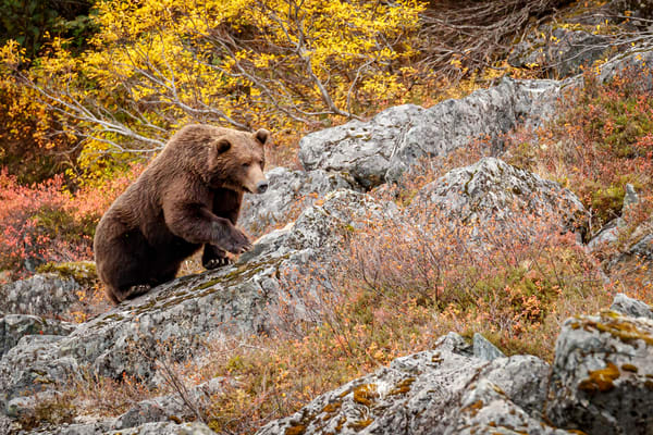 Alaskan Brown (Grizzly) Bear boar walks on the fall tundra and rocks at Crescent Lake in Lake Clark National Park.  Fall - Autumn.  Alaska  Photo by Jeff Schultz/  (C) 2019  ALL RIGHTS RESERVED