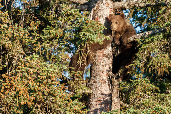 Brown Bear spring cubs climb in spruce tree for safety in Lake Clark National Park.  Silver Salmon Creek area. Western Alaska  Summer  Photo by Jeff Schultz/  (C) 2020  ALL RIGHTS RESERVED