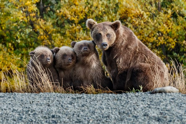 Alaska Brown Bear sow and triplet cubs on shoreline of Crescent Lake in Lake Clark National Park.  Southwestt, Alaska   Fall - Autumn  Photo by Jeff Schultz/  (C) 2020  ALL RIGHTS RESERVED