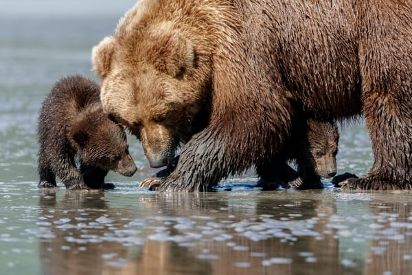 Brown Bear sow and spring cubs search for clams on mud flats on coast of Lake Clark National Park.  Silver Salmon Creek area.  Chigmit Mountains Western Alaska  Summer  Photo by Jeff Schultz/  (C) 2020  ALL RIGHTS RESERVED