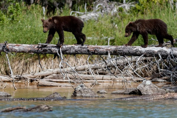 Brown bear spring cubs walk across a dead log in Lake Clark National Park on Crescent River. Summer Southcentral, Alaska  Photo by Jeff Schultz/  (C) 2020  ALL RIGHTS RESERVED