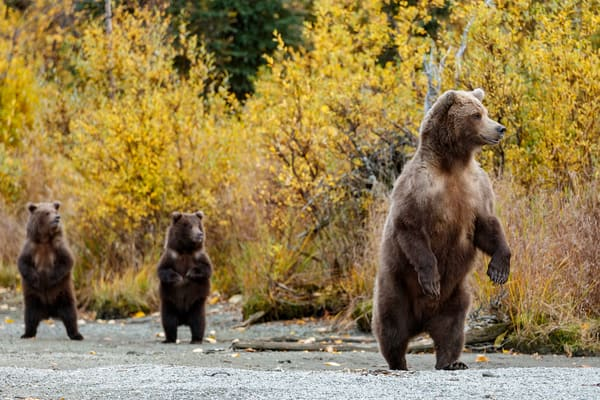 Alaska brown bears at Crescent Lake in Lake Clark National Park. Alaska  Photo by Jeff Schultz/  (C) 2020  ALL RIGHTS RESERVED