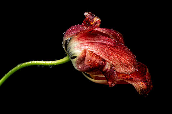Tom Weager Photography - Red Tulip after rainfall