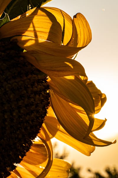 Tom Weager Photography - Sunflower Petals