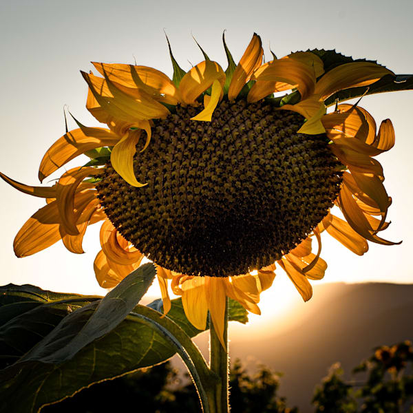 Tom Weager Photography - Sunflower