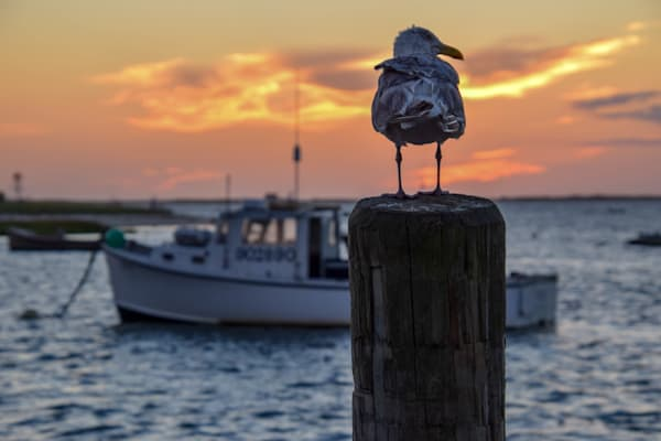 Seagull Sunrise Photography Art | The Colors of Chatham