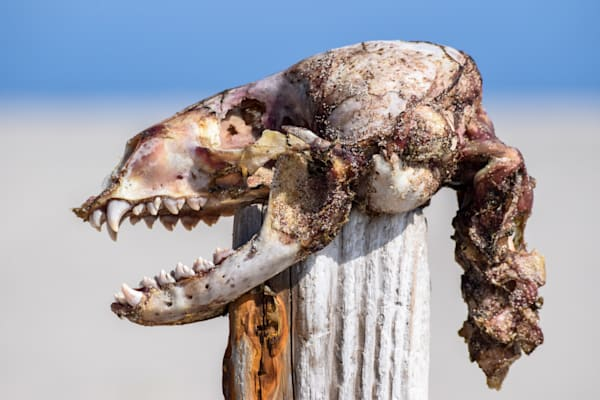 Seal Skull Photography Art | The Colors of Chatham
