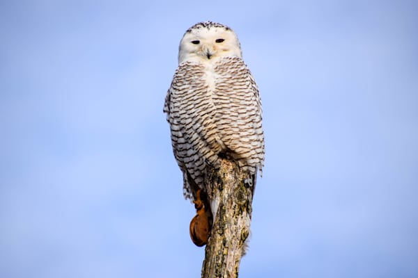 Snowy Owl Photography Art | The Colors of Chatham