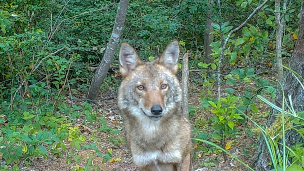 Female Coyote Photography Art | The Colors of Chatham