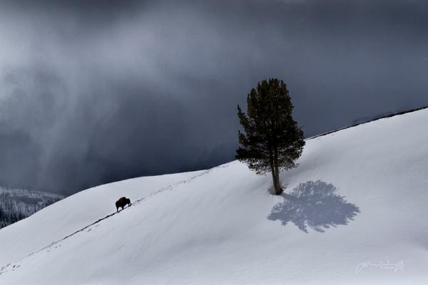 Solitary Bull Bison Photography Art | John Winnie Jr. Photography