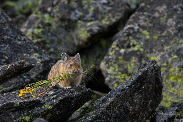 Pika gathering hay for winter on the Beartooth Plateau, Wyoming.