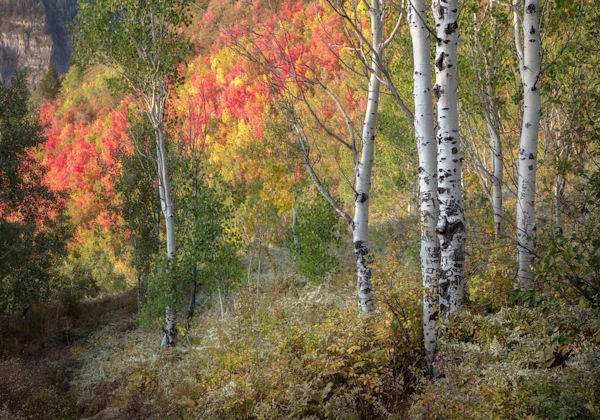 Aspen And Maple Forest Photography Art | Charlotte Gibb Photography