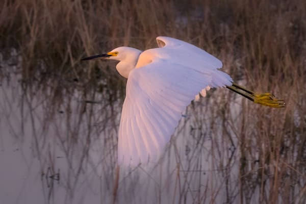 Snowy Egret Photography Art | Charlotte Gibb Photography