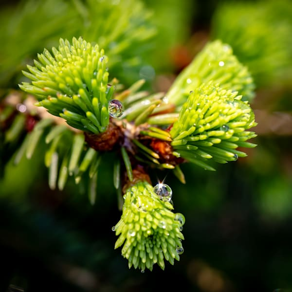 Evergreen Needles with Water Droplets -Square Crop