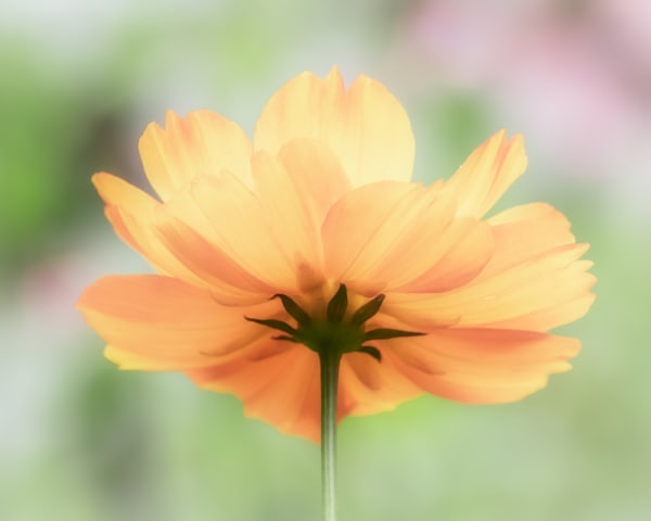 Orange Flower on Pastel Background - 8 by 10