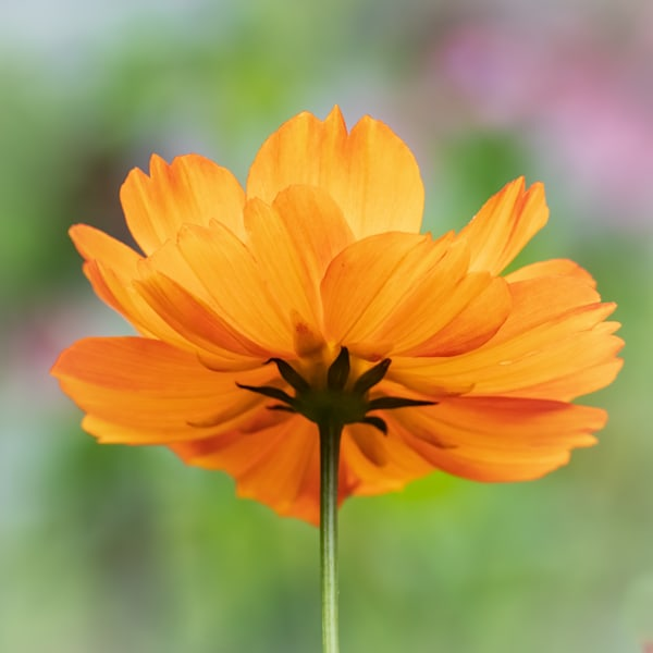 Orange Flower on Pastel Background