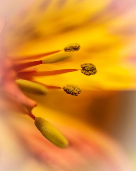 Yellow and Orange Macro of Flower Stamen