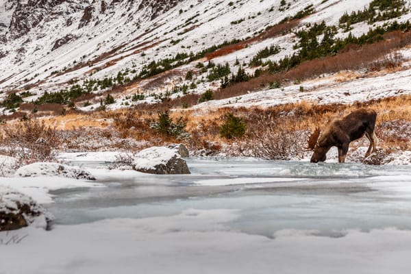 Bull moose drinking along South Fork of Campbell creek with Chugach Mountains in Chugach State Park. Glenn Alps area of Anchorage, Alaska     Photo by Jeff Schultz/SchultzPhoto.com  (C) 2016  ALL RIGHTS RESVERVED