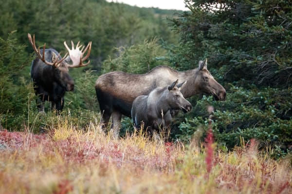 Fall landscape of Bull, cow and calf moose in powerline valley of Glen Alps area in Chugach Mountains near Anchorage, Alaska.  Chugach State Park.    Photo by Jeff Schultz/SchultzPhoto.com  (C) 2018  ALL RIGHTS RESERVED