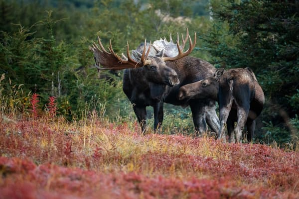 Fall landscape of Bull and cow moose during courtship in powerline valley of Glen Alps area in Chugach Mountains near Anchorage, Alaska.  Chugach State Park.   Photo by Jeff Schultz/SchultzPhoto.com  (C) 2018  ALL RIGHTS RESERVED