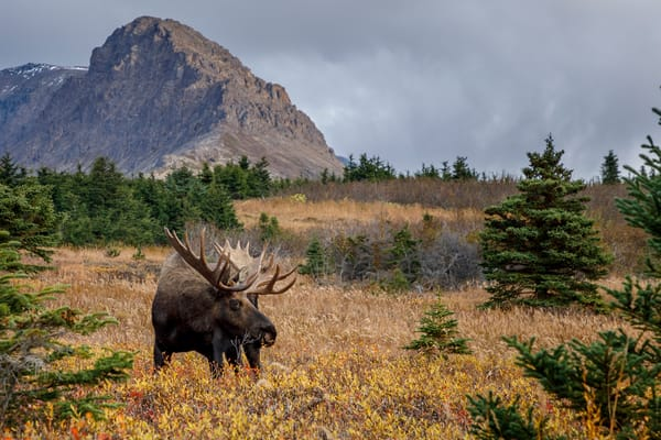 Fall Landscape of Bull  moose grazing in meadow with Chugach Mountains in background in Chugach State Park.  Anchorage, Alaska  Photo by Jeff Schultz/SchultzPhoto.com  (C) 2018  ALL RIGHTS RESERVED