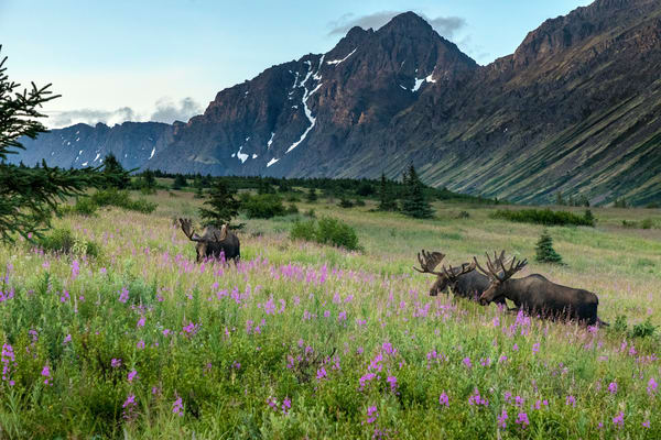 Bull moose with velvet on antlers graze-eat on fireweed and other plants in Chugach State Park, Chugach Mountains near Anchorage, Alaska.  Summer wildlife   Photo by Jeff Schultz/  (C) 2019  ALL RIGHTS RESERVED