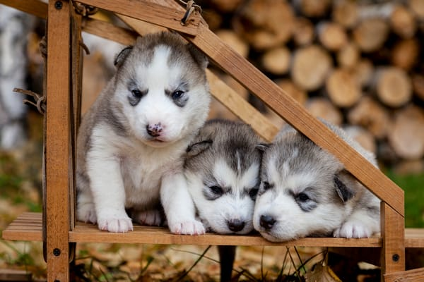 3-week old pure-bred Siberian Husky puppies in small wooden dog sled   Outdoors  Fall  PHOTO (C) BY JEFF SCHULTZ / ALL RIGHTS RESERVED