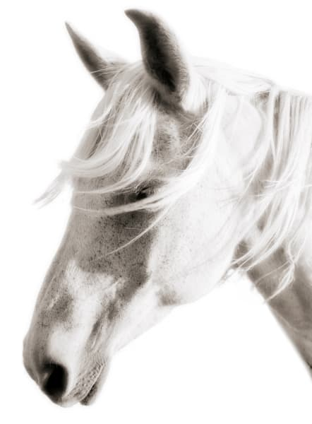 Horse with White Mane and White Background