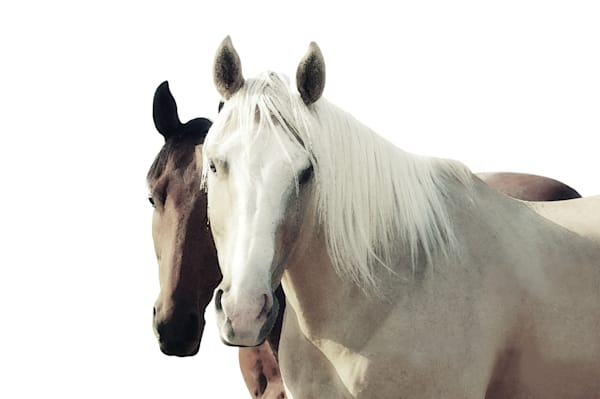 HORSES with white background