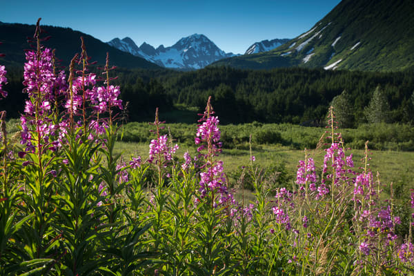 Summer landscape of fireweed inTurnagain Pass with Kenai  Mountains in background. Chugach National Forest   Summer  Southcentral, Alaska 2016  Photo by Jeff Schultz/SchultzPhoto.com  (C) 2016  ALL RIGHTS RESVERVED