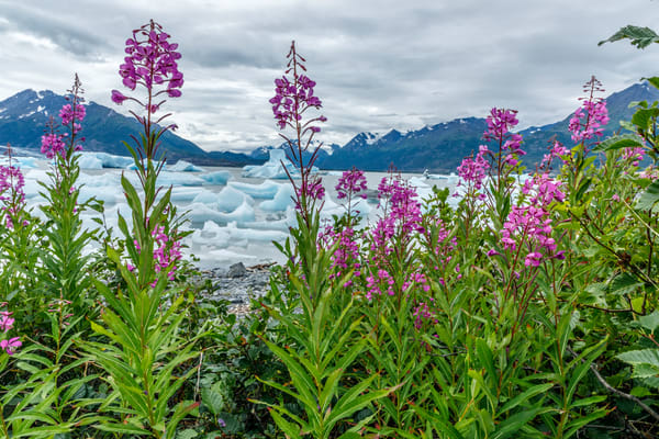 Summer landscape of Fireweed and icebergs in Inner Lake George with Chugach Mountains.  Southcentral, Alaska  Photo by Jeff Schultz/SchultzPhoto.com  (C) 2018  ALL RIGHTS RESERVED