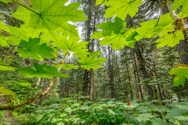 Summer landscape of backlit devils club leaves in Forest on Kenai Penninsula, Summer, Alaska     Photo by Jeff Schultz/  (C) 2019  ALL RIGHTS RESERVED