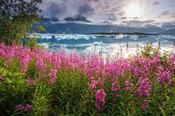 Summer landscape of fireweed on shore and icebergs at Bear Glacier Lagoon in Kenai Fjords National Park.  Kenai Penninsula, Summer, Alaska    Photo by Jeff Schultz/  (C) 2019  ALL RIGHTS RESERVED