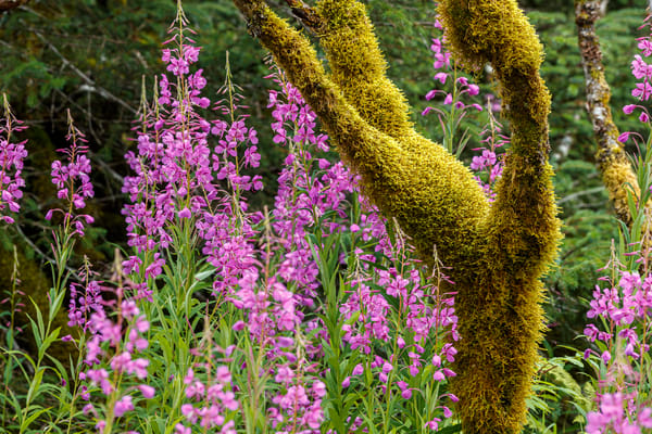 Summer landscape of moss covered trees and fireweed at Bear Glacier Lagoon in Kenai Fjords National Park.  Kenai Penninsula, Summer, Alaska     Photo by Jeff Schultz/  (C) 2019  ALL RIGHTS RESERVED