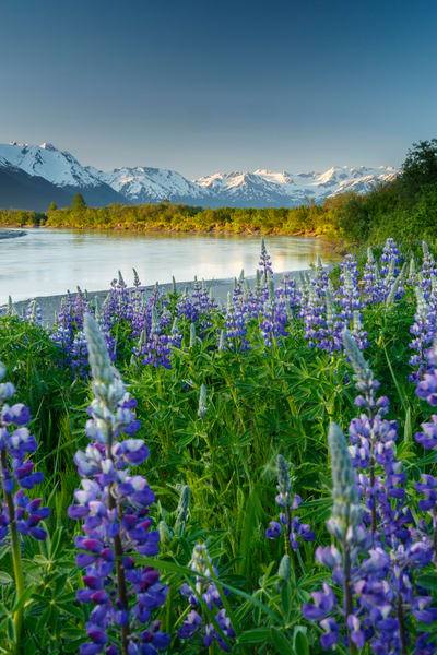 Spring landscape of lupine and Chugach Mountains along Placer River in Southcentral, Alaska  Photo by Jeff Schultz (C) 2016  ALL RIGHTS RESERVED