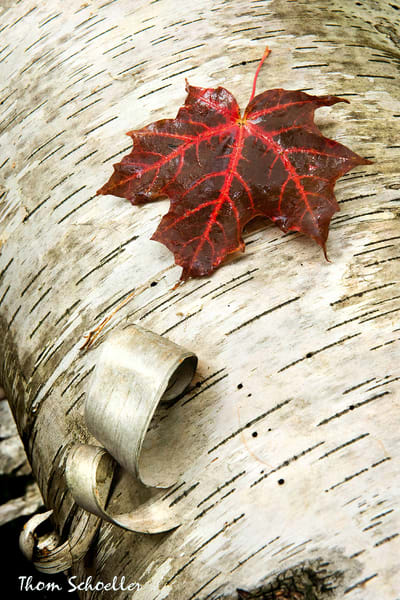 Intimate Landscape autumnal fine art print for sale   Silver Birch truck and Sugar Maple red leaf