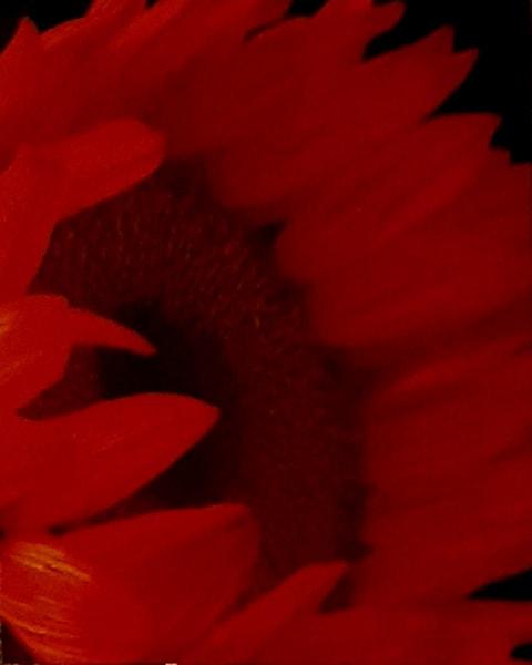 Red, Bloom, Flower