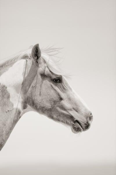 Beautiful profile of wild paint mare, Oregon