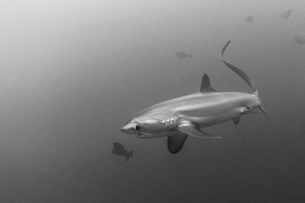 Thresher Shark BW, Philippines