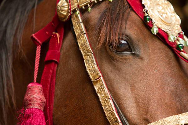 Marwari Horses, India