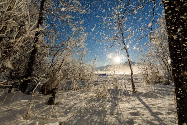 Winter landscape of frost falling from hoarfrost covered trees along the bank of the Matanuska River as the sun shines through on a sunny day in the Matanuska Valley near Palmer, Alaska. Pioneer Peak Chugach Mountains  Southcentral Alaska  Photo b