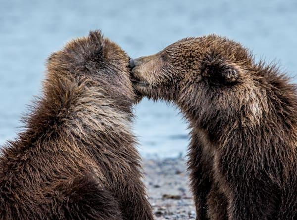 Bear Cubs Kissing on the beaches of  Alaska