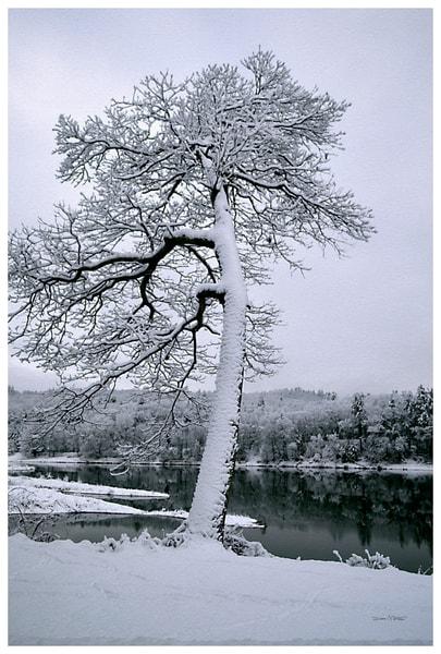 Morning Snow on Oak Tree Delaware River View