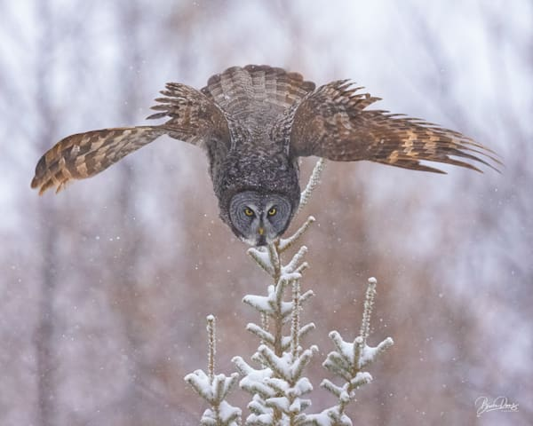 Great Gray Owl Dive