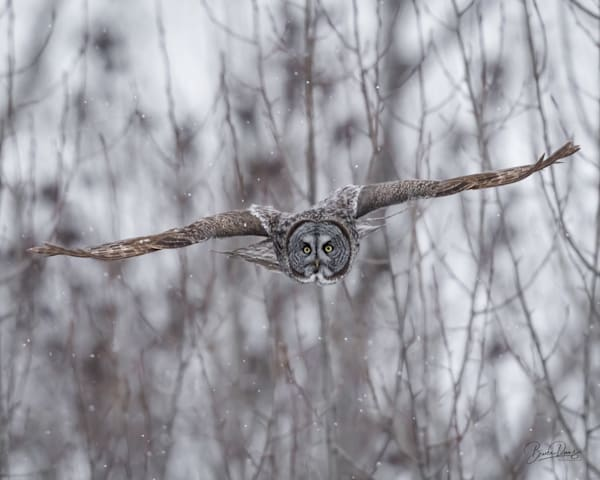 Great Gray Owl Approaches